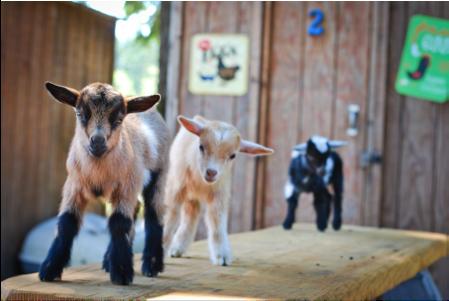 Goat Husbandry